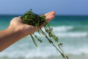 Полезные и незаменимые – морские водоросли